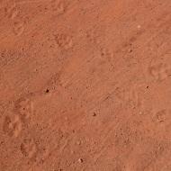 Dingo footprints